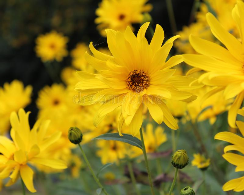 Group of Perennial Sunflowers royalty free stock images