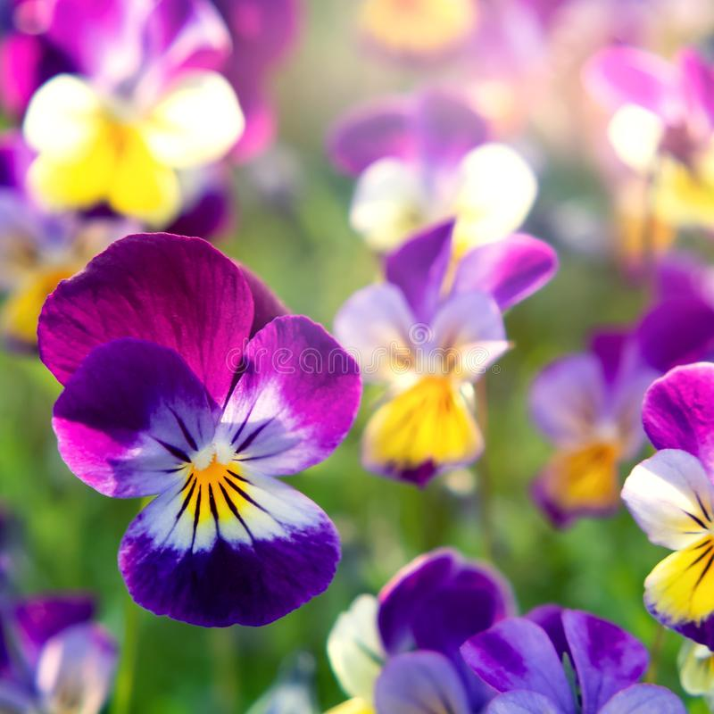 Group of perennial yellow-violet Viola cornuta, known as horned pansy or horned violet.  stock photos