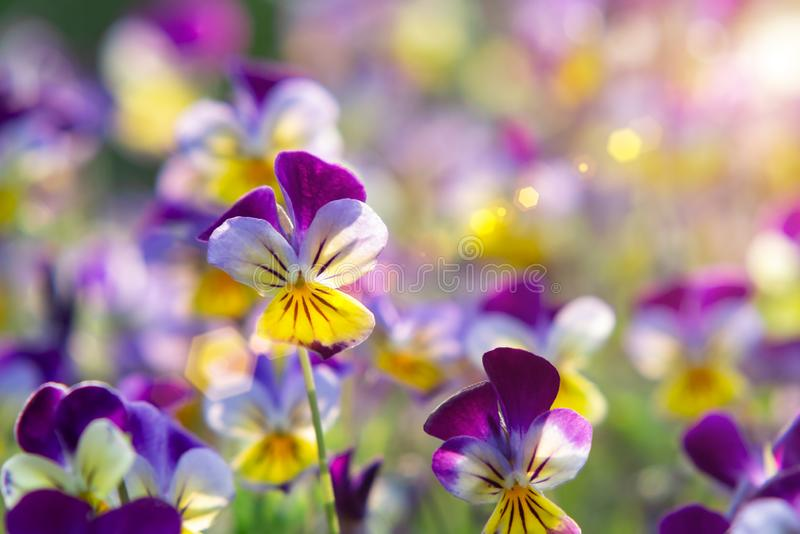 Group of perennial yellow-violet Viola cornuta, known as horned pansy or horned violet.  stock photography