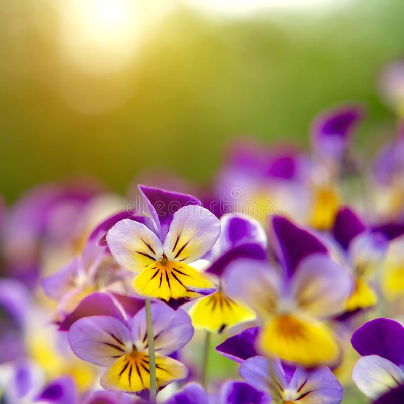 Group of perennial yellow-violet Viola cornuta, known as horned pansy or horned violet.  royalty free stock photo