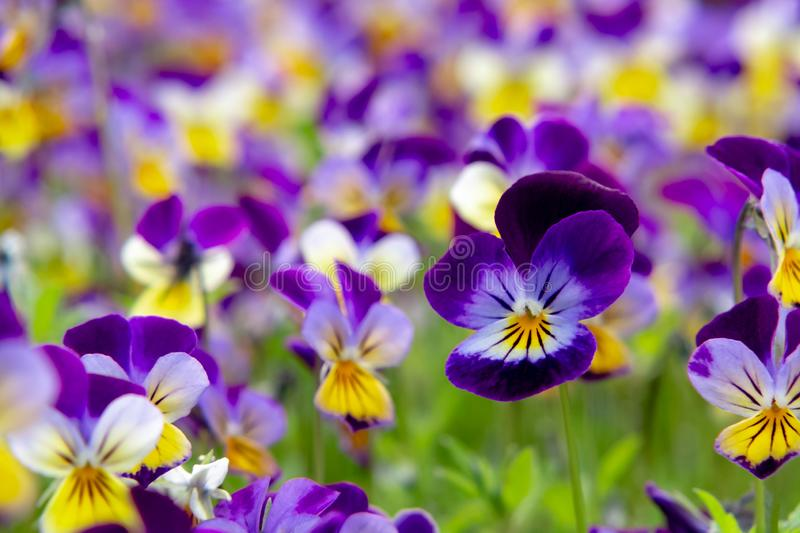 Group of perennial yellow-violet Viola cornuta, known as horned pansy or horned violet.  royalty free stock images