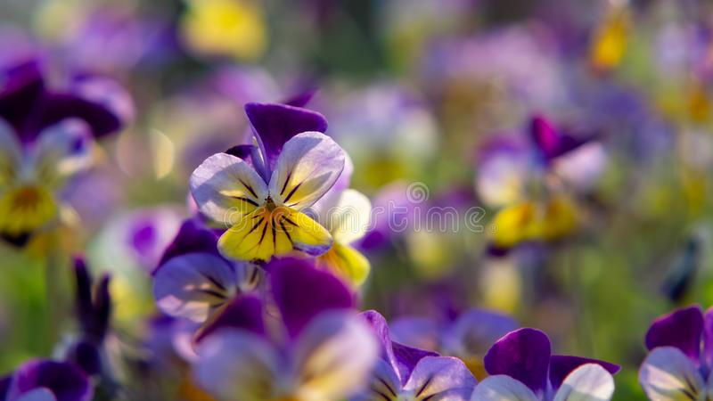 Group of perennial yellow-violet Viola cornuta, known as horned pansy or horned violet.  stock image