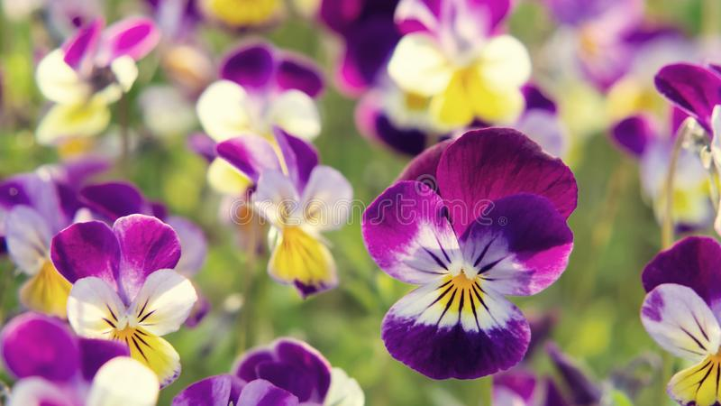Group of perennial yellow-violet Viola cornuta, known as horned pansy or horned violet.  royalty free stock photography
