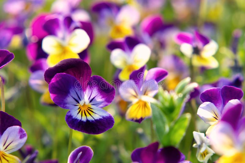Group of perennial yellow-violet Viola cornuta, known as horned pansy or horned violet.  stock images