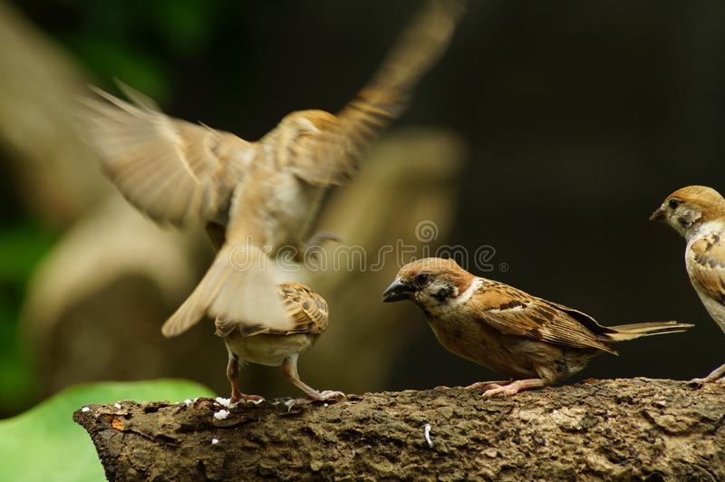 Group of Philippine Maya Bird Eurasian Tree Sparrow or Passer montanus perch on tree branch. Group of Philippine Maya Bird Eurasian Tree Sparrow or Passer royalty free stock image