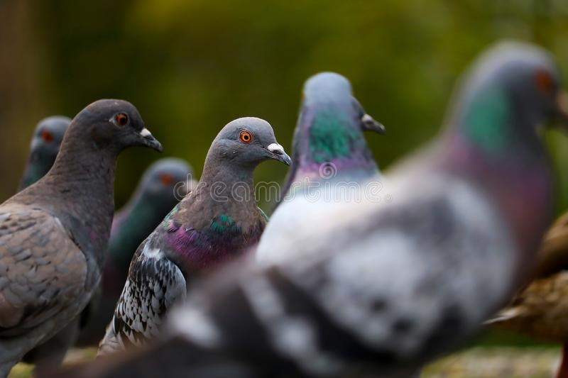 Group of pigeons in close-up view stock photos