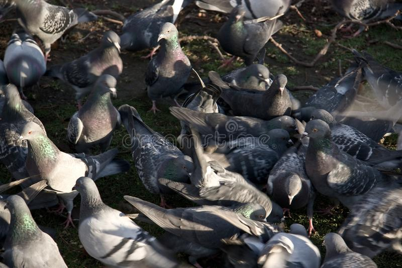 Group of pigeons on ground, some of them blurry to emphasise chaotic movement royalty free stock photo