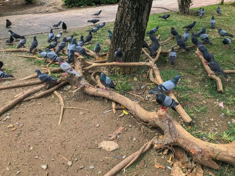 Group of pigeons in the park at Thailand royalty free stock photo