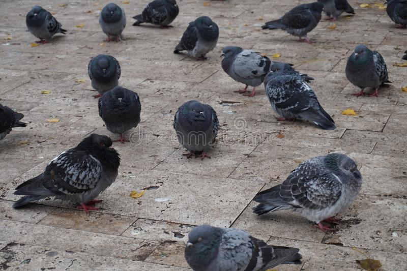 Pigeons in the cold stock image