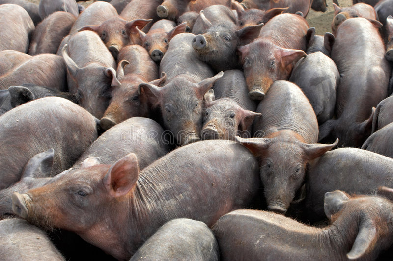 Group of pigs royalty free stock image