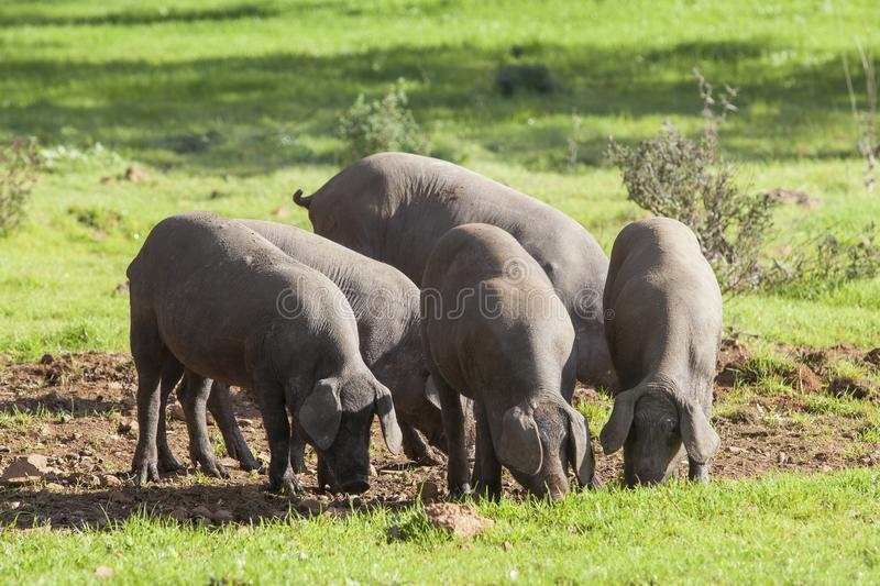 Group of pigs eating in the field stock photos