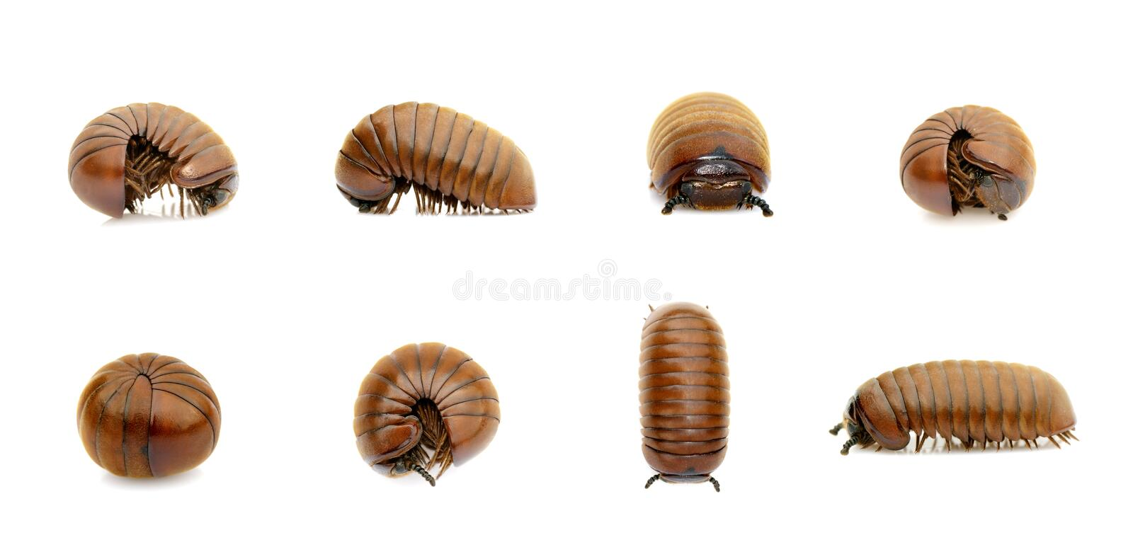 Group of pill millipede wormOniscomorpha isolated on a white background. Glomerida. Insect. Animal stock images