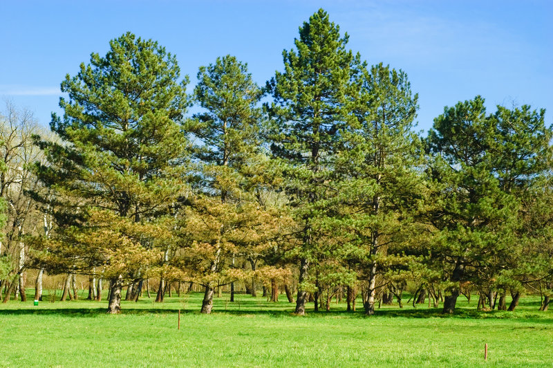 Group of pine trees stock photos