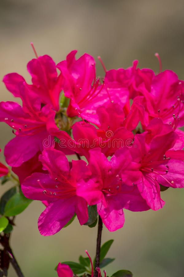 Group of Pink Azalea Flowers royalty free stock images