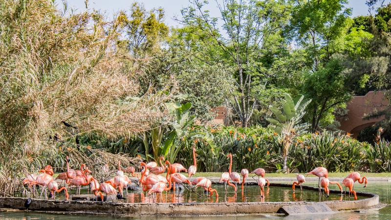 Group of pink colored flamingos in a pond surrounded by green vegetation and trees royalty free stock photography