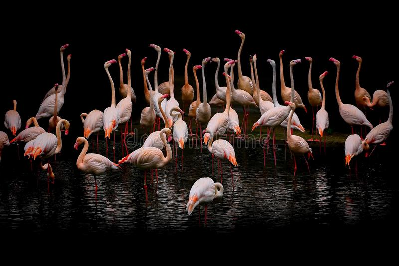 Group of pink flamingo birds in their habitat. Beautiful group of pink flamingo birds in action at their enclosure royalty free stock photography
