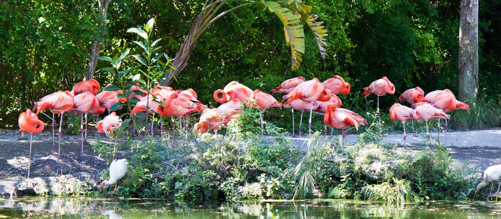 Group of pink flamingo wading birds. A group of pink flamingo wading birds stock photos