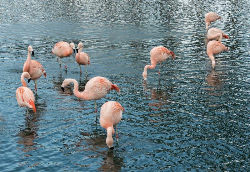 Group of ten Pink Flamingos royalty free stock photos