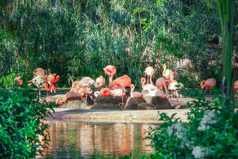 Group of pink flamingos near the pond royalty free stock image