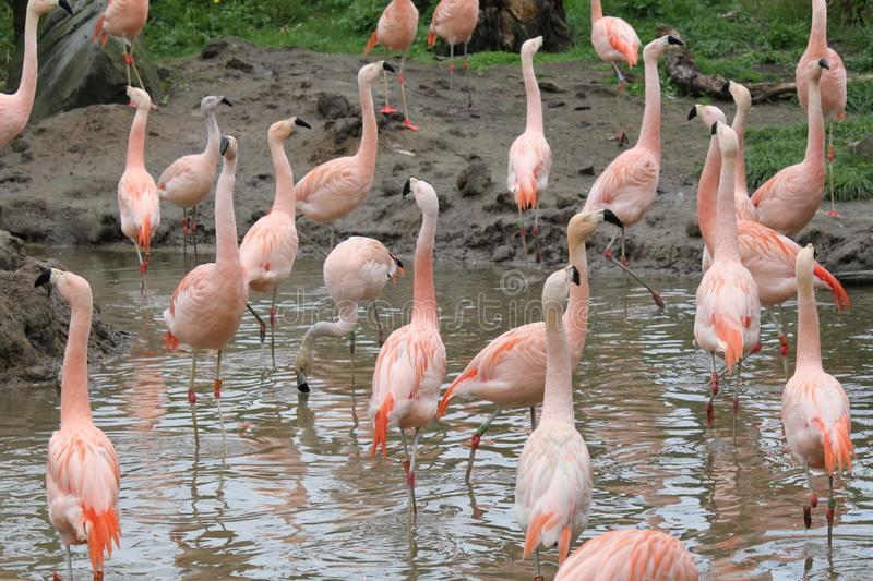 A group of pink flamingos in a pond in zoo in summer royalty free stock images