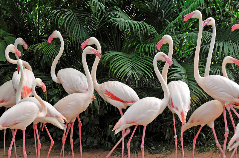 Group of pink flamingos royalty free stock photography