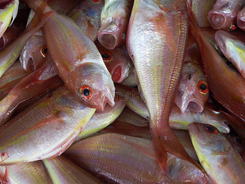 Group of Pink and White Fish royalty free stock photos