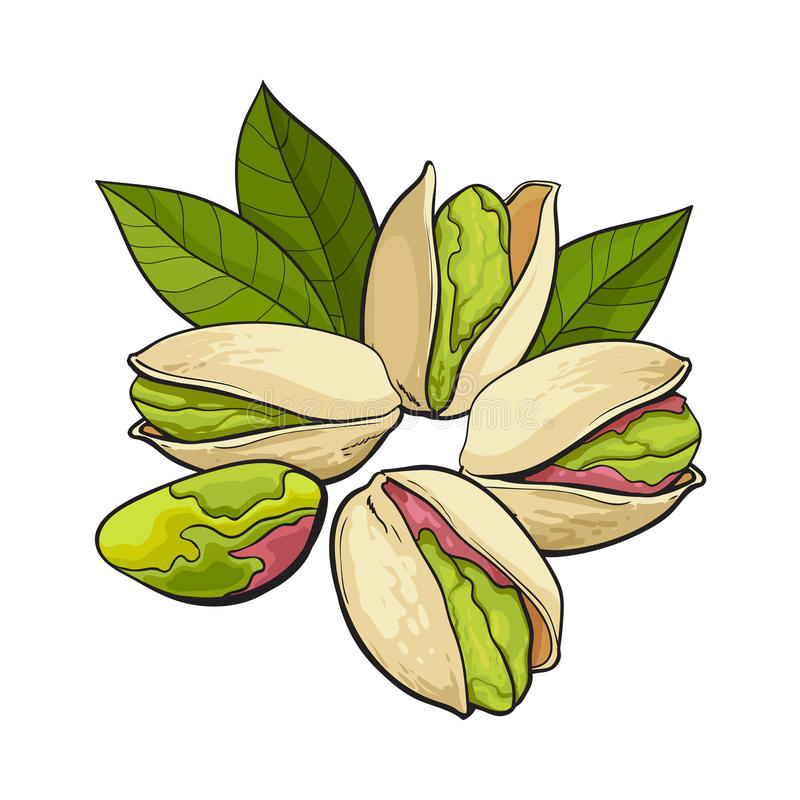 Group of pistachio nuts, shelled and unshelled, sketch vector illustration. Group of pistachio nuts, shelled and unshelled, sketch style vector illustration vector illustration