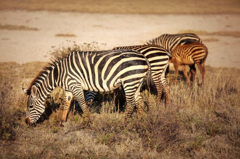 Group of plains zebras Equus quagga grazing in African savanna, lit by afternoon sun. Amboseli national park, Kenya royalty free stock photos
