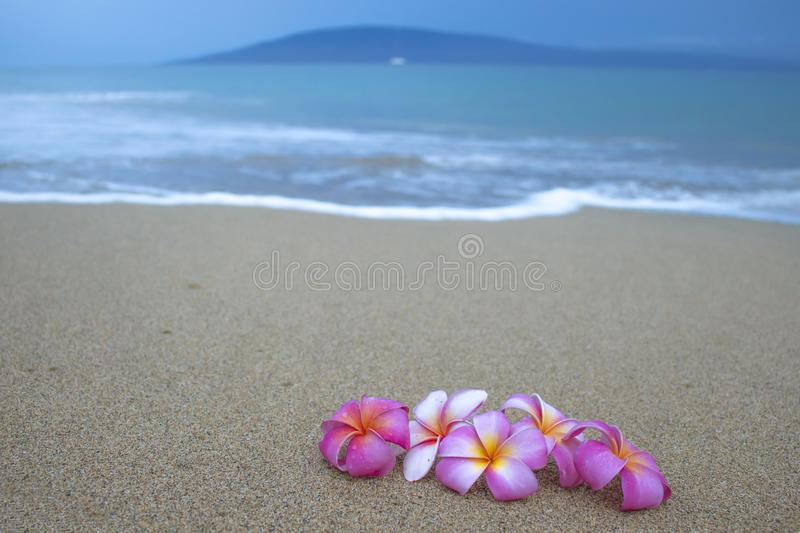 Group of Plumeria Flowers on Sand with Wave Ocean and Island in. Group of pink tropical blossoms resting on beach with quiet ocean beyond and island on horizon royalty free stock photo