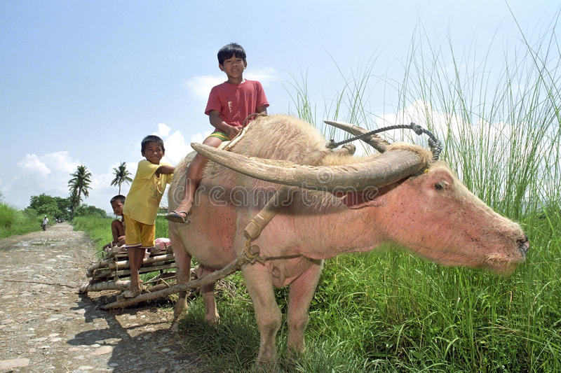 Group portrait of boys riding on a water buffalo royalty free stock photography