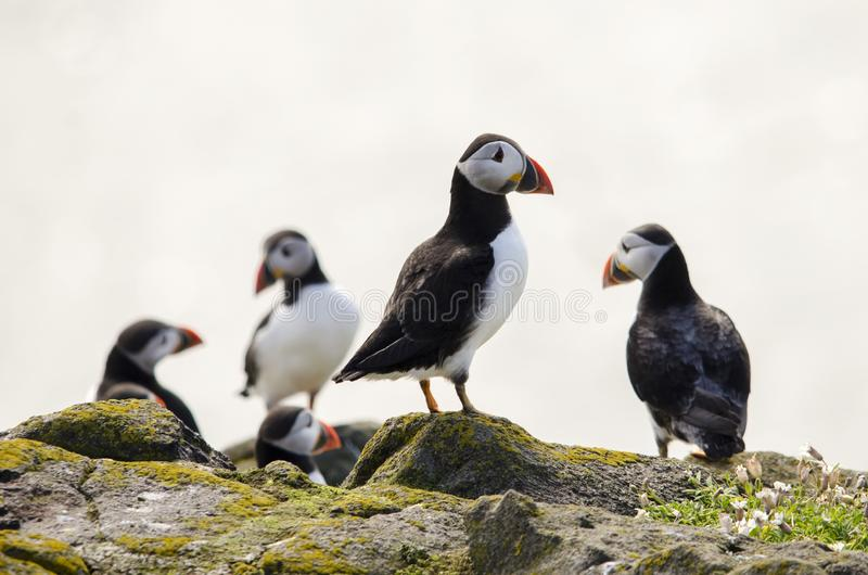 Group of Puffin Seabirds. Puffin seabirds on the Isle of May, East coast of Scotland royalty free stock image