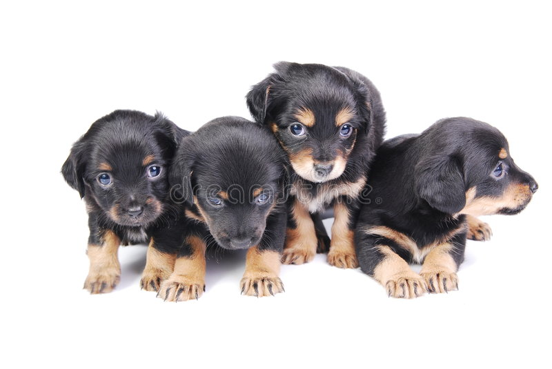 Group Of Puppies Stock Photography