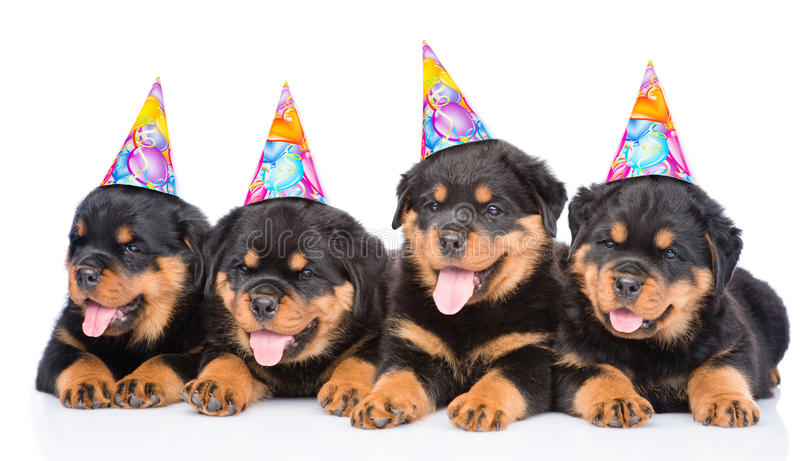 Group of puppies Rottweiler with birthday hats. isolated on white royalty free stock photography
