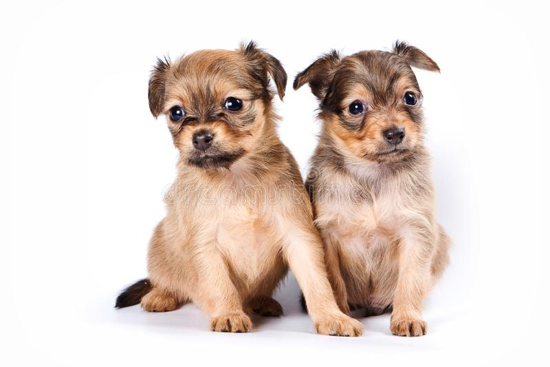 Group of puppies Russian toy terrier royalty free stock photos