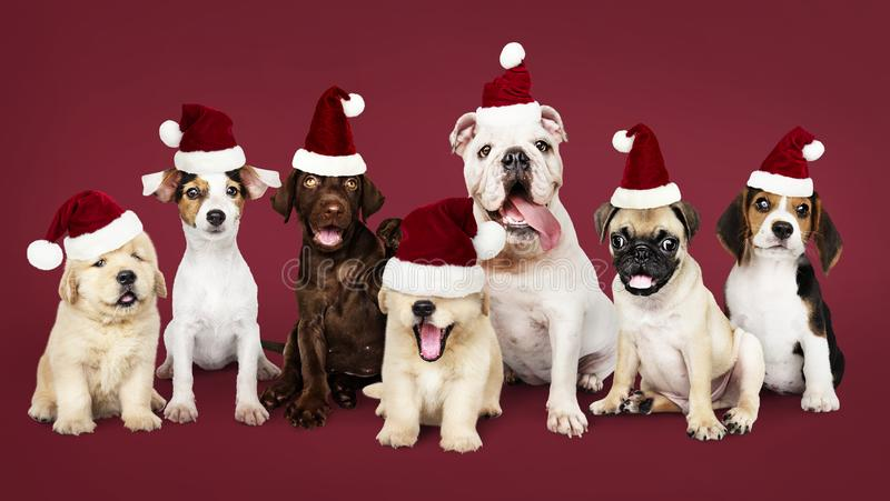 Group of puppies wearing Christmas hats stock photo