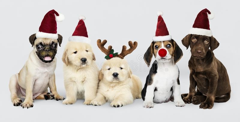 Group of puppies wearing Christmas hats to celebrate Christmas stock photos