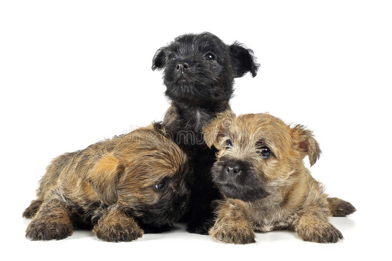 Group of puppy cairn terrier`s are on white stock image