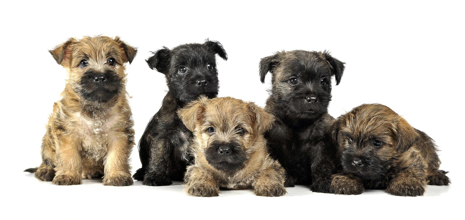 Group of puppy cairn terrier`s are on white royalty free stock images