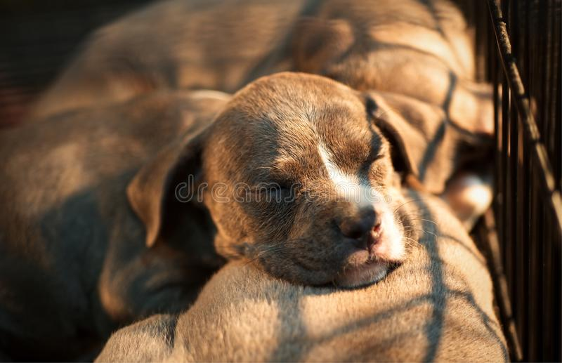 Group of puppy sleeping American Pit Bull Terrier : Closeup stock photography