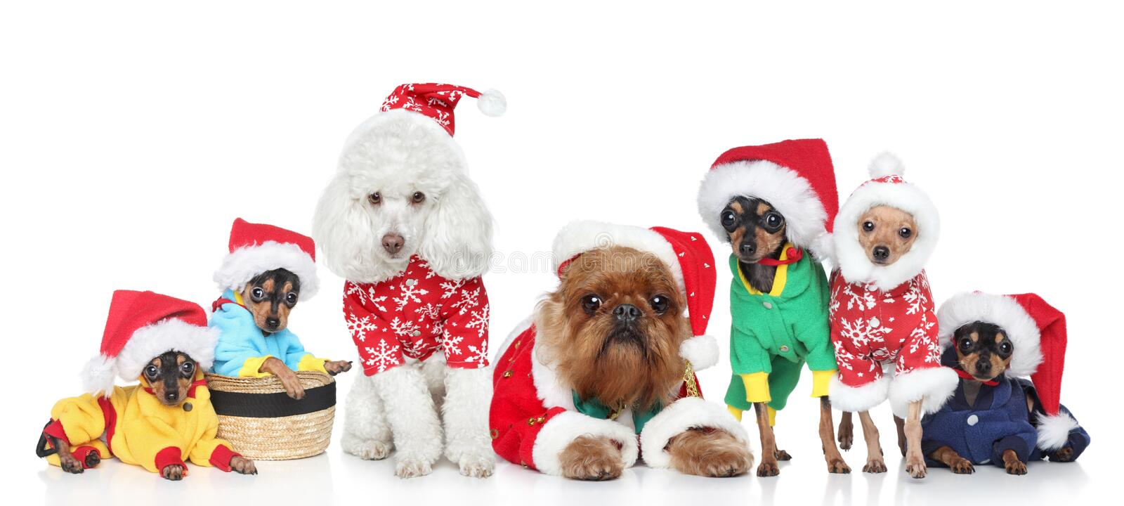 Group of purebred dogs in Christmas hats. Group of puppies purebred dogs in Christmas hats on a white background stock photo