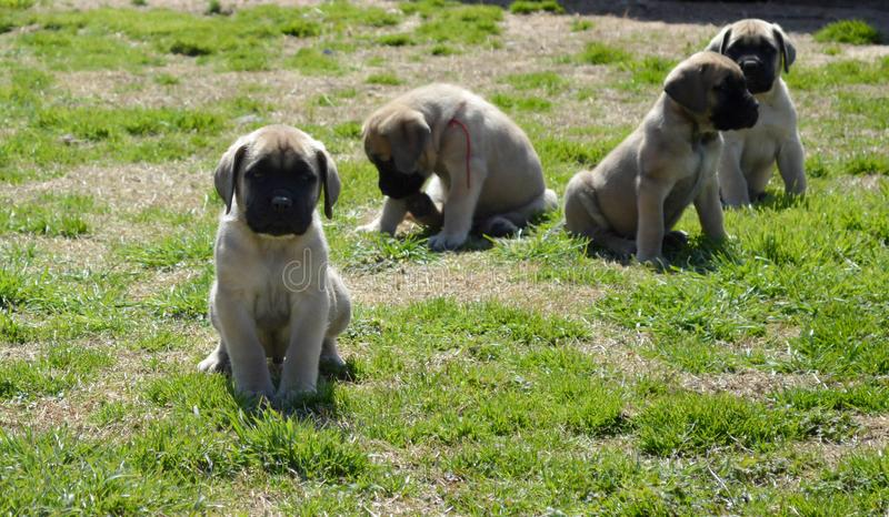 A group of purebred English Mastiff puppies playing outside on grass stock photography