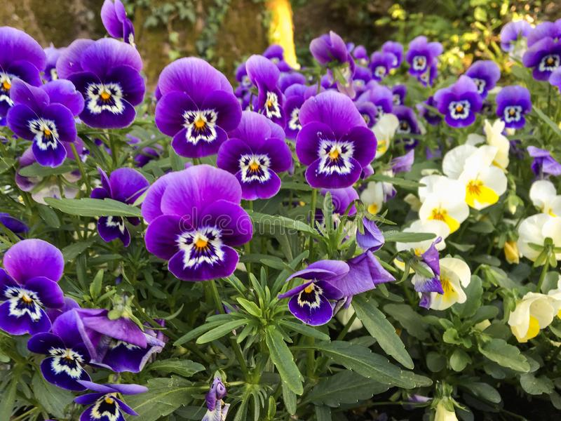 Group of purple flowers royalty free stock photos