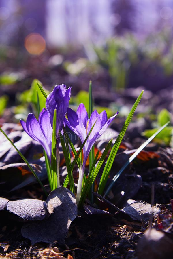 Group of purple spring crocus growing through juniper. royalty free stock photo