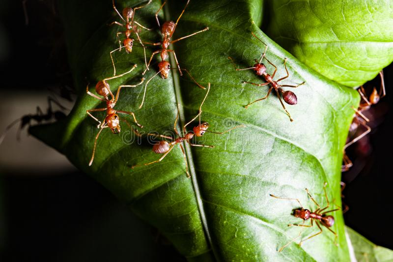 Group read ant on green leaf. White, nature, red, people, food, closeup, concept, image, one, space, macro, studio, animal, work, single, detail, hot, wild stock photos