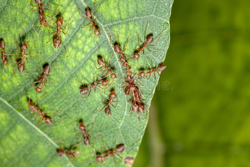 Group red ant attack one red ant on leaf in nature. White, green, people, food, closeup, concept, image, space, macro, studio, animal, work, single, detail royalty free stock images