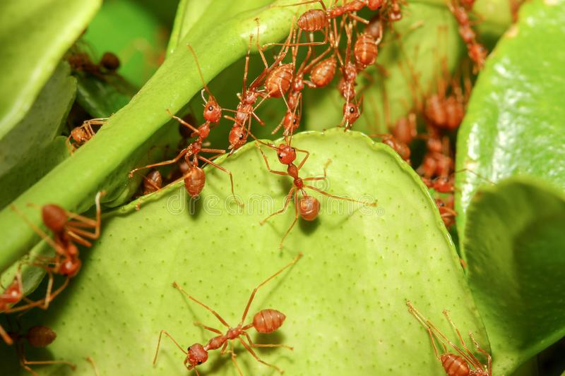 group red ant build ant nest from green leaf in nature at forest thailand royalty free stock photo