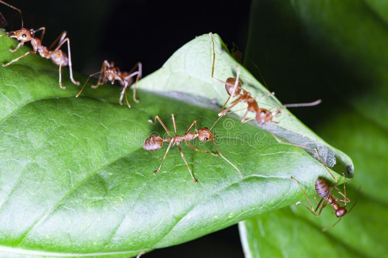 Group red ant on green leaf. White, nature, people, food, closeup, concept, image, one, space, macro, studio, animal, work, single, detail, hot, wild, wildlife royalty free stock photo
