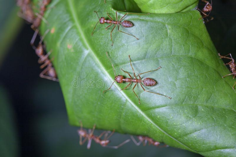 Group red ant on green leaf. White, nature, people, food, closeup, concept, image, one, space, macro, studio, animal, work, single, detail, hot, wild, wildlife royalty free stock photos