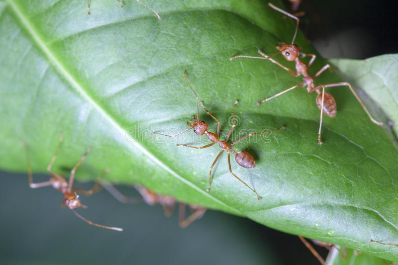 Group red ant on green leaf. White, nature, people, food, closeup, concept, image, one, space, macro, studio, animal, work, single, detail, hot, wild, wildlife stock photography