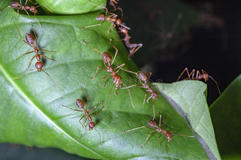 Group red ant on green leaf. White, nature, people, food, closeup, concept, image, one, space, macro, studio, animal, work, single, detail, hot, wild, wildlife stock image